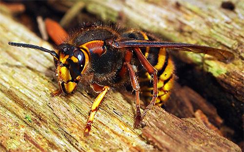 Матка шершня может перезимовать под корой дерева, в щелях и других укромных местах, где до нее не смогут добраться голодные птицы.