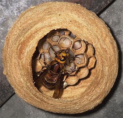 Матка шершней в центре нового гнезда