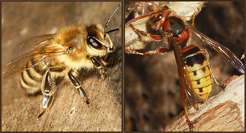 Шершень (справа) и пчела (слева) отчасти похожи друг на друга расцветкой