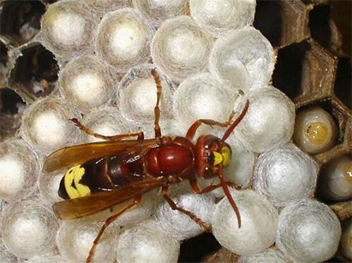 Из неоплодотворенных яиц выводятся самцы