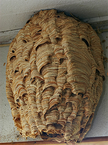 Гнездо обыкновенного шершня может быть длиной около метра и весить до 10 килограммов.