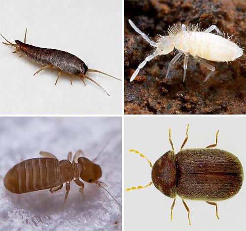 Давайте посмотрим, какие виды маленьких насекомых мы можем однажды встретить в своей квартире, нужно ли их бояться и что от них следует ожидать...