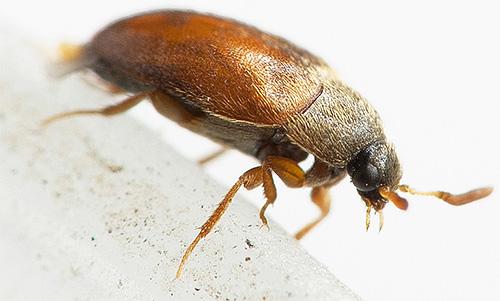 Жук-кожеед, несмотря на свой небольшой размер, может нанести значительный ущерб вашим вещам в доме.