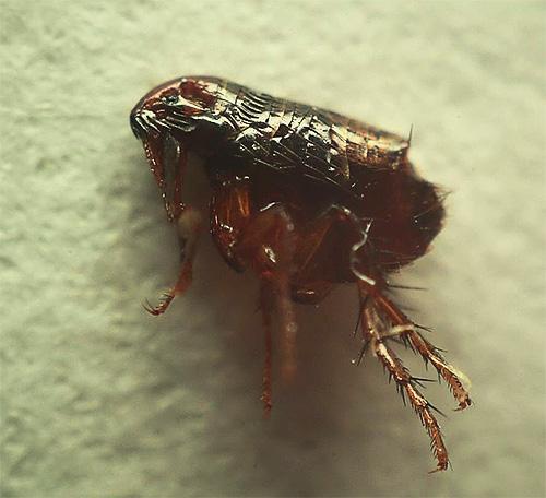 И человеческие, и кошачьи, и собачьи блохи - мелкие и весьма неприятные насекомые