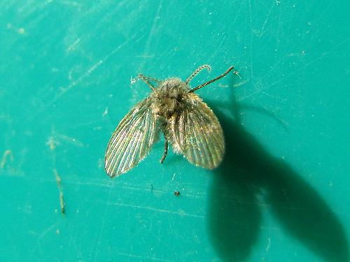 Бабочница (Psychodidae)