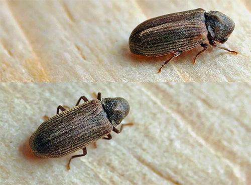 На фото показан жук-точильщик