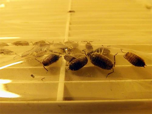 Мокрицы могут размножаться на сыром чердаке дома, а затем по вентиляционным ходам проникать в туалет или ванную команту.