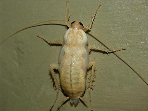 Полинявшие личинки обычного рыжего таракана первое время выглядят как непонятные маленькие белые насекомые