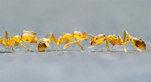 На своих лапках фараоновы муравьи могут переносить различные болезнетворные микроорганизмы