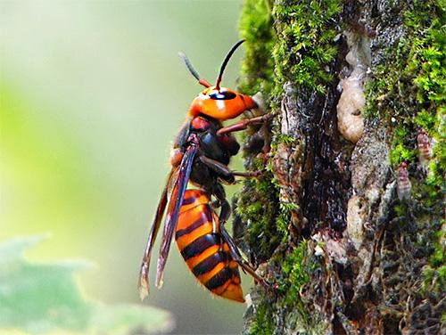 Гигантского японского шершня (Vespa mandarina japonica) в Азии хорошо знают не только благодаря его огромным размерам, но прежде всего из-за высокой опасности этого насекомого для человека...