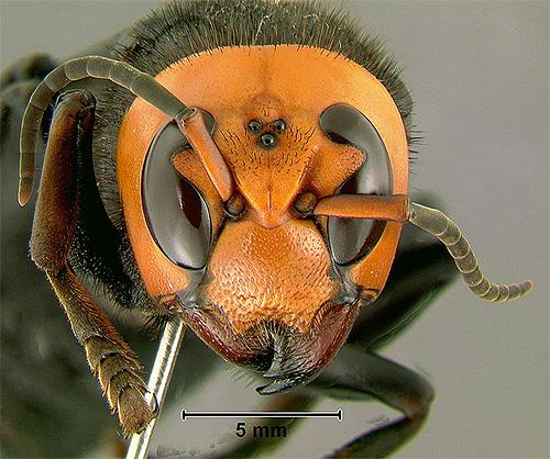 На голове насекомого хорошо заметны три дополнительных глаза