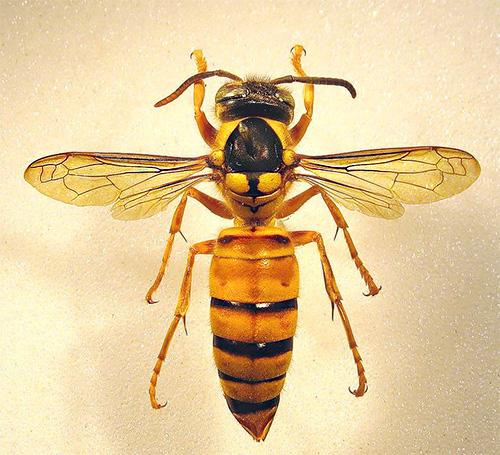 На фото показан шершень Vespa bicolor