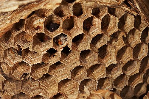 В гнезде шершня хорошо видны ячейки - это камеры, в которых созревают личинки насекомого