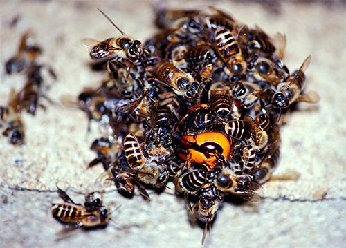 Собираясь в клубок вокруг шершня и активно двигая крыльями, пчелы убивают хищника за счет повышения температуры в центре шара.