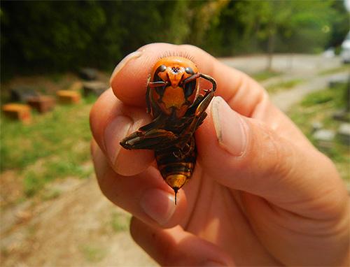 Укусы японского огромного шершня, особенно множественные, являются чрезвычайно опасными для человека
