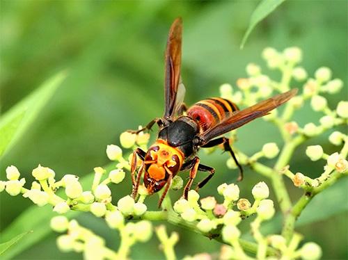 Из-за огромных размеров и характерной расцветки японского шершня сложно спутать с каким-то другим насекомым.