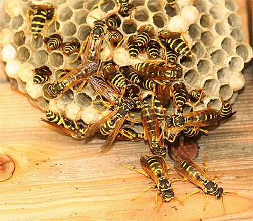 Следует помнить, что осы могут весьма активно защищать свое гнездо, иногда нападая на человека всем роем...