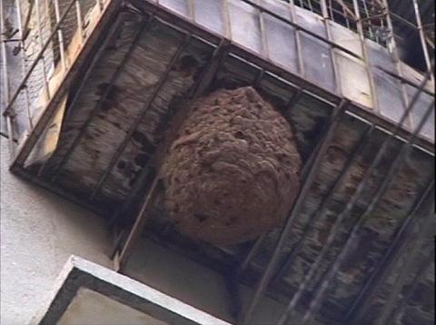 Если после наблюдения за осами вы не смогли увидеть их гнездо, возможно, оно находится снаружи балкона.