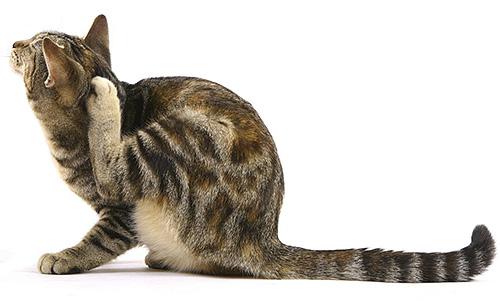 Существует несколько способов проникновения паразитов в дом, и один из основных - на шерсти домашнего питомца.