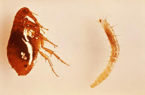 Фотография взрослой блохи (слева) и личинки (справа)