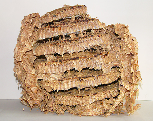 Из мягкой пластичной массы пережеванной коры и лепятся стенки шершневого гнезда