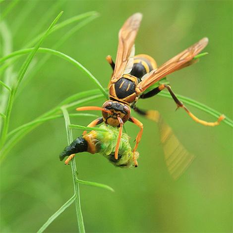 Личинки должны питаться мясной пищей, поэтому взрослые шершни приносят им мелких насекомых.