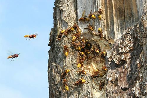 Нередко шершни прилетают на участок из гнезда, расположенного в ближайшей лесополосе
