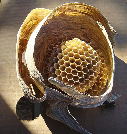 Пример срезанного гнезда шершней