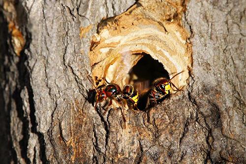 В случае если шершни разместили свое жилище в дереве, в дупло заливается инсектицид, а отверстие закупоривается, например, шпатлевкой или тряпкой.