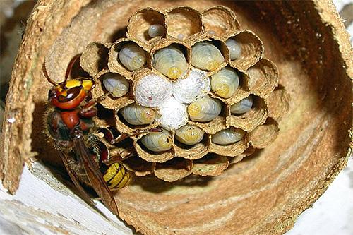 Если на участке вы обнаружили гнездо шершней на начальном этапе его постройки, лучше всего будет уничтожить его сразу.