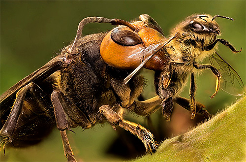 Нападая на ульи, шершни убивают насекомых, а затем разграбляют запасы пчел.