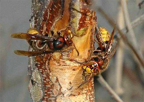 Для постройки гнезда шершни обычно используют пережеванную кору деревьев