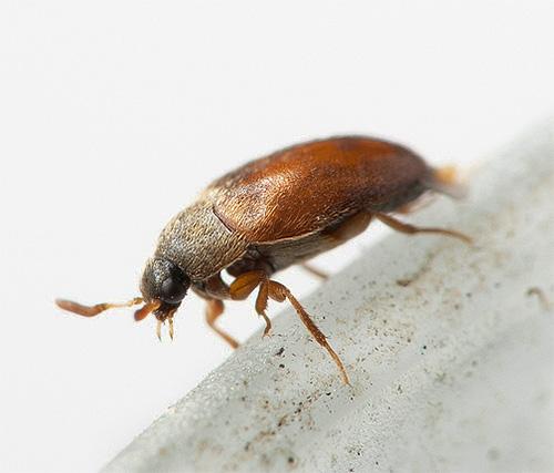 Неприметный жук-кожеед способен причинить немалый ущерб в доме