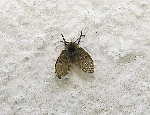 Мелкая мушка бабочница на стене в туалете.