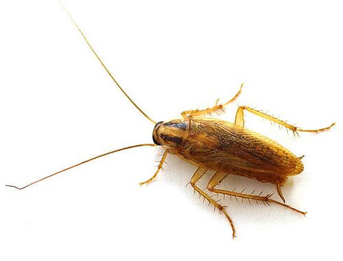 Вездесущие тараканы способны приспосабливаться к самым тяжелым условиям существования, так что условия квартиры для них - настоящий рай.