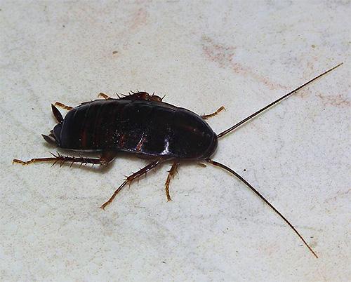 Черный таракан имеет красивое латинское название Blatta Orientalis, и наряду со своим рыжим собратом является типичным синантропным насекомым.