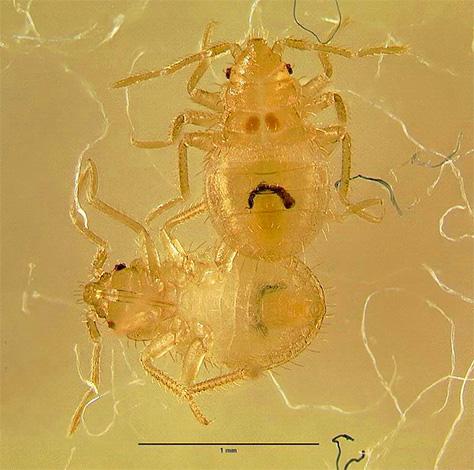 На фотографии показана личинка постельного клопа (нимфа) под микроскопом