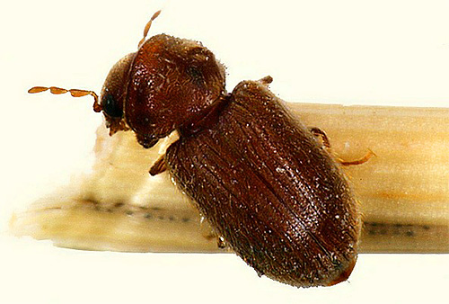 Хотя жук-кожеед размером всего лишь с блоху, он может основательно попортить ваши вещи и запасы продуктов.