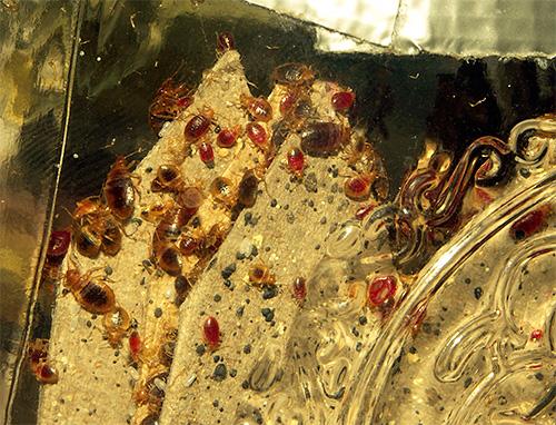 Обычно лишь при весьма сильном заражении насекомыми всего многоквартирного дома СЭС может выехать на обработку.