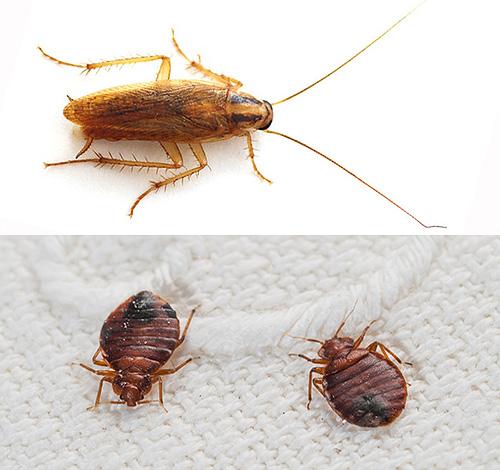 Практически всегда при обработке помещения от клопов уничтожаются также и другие насекомые, например, тараканы...