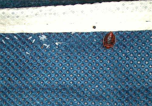 Далеко не каждый инсектицидный препарат способен уничтожить яйца клопов, вследствие чего через пару недель вылупляются новые личинки.