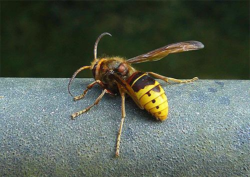 Попробуем разобраться, какое лучше всего выбрать средство против ос и шершней, если эти насекомые начали донимать вас на даче или пасеке...