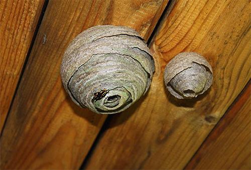 Осиные гнезда на потолке