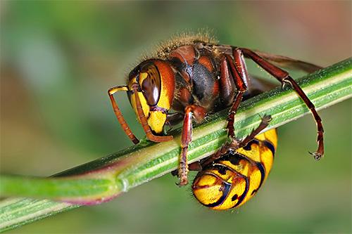 Народные средства борьбы с осами и шершнями зачастую все же уступают по эффективности современным инсектицидным препаратам.