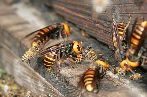 Азиатские шершни - гроза местных пасечников, так как всего несколько особей могут уничтожить целую пчелиную семью