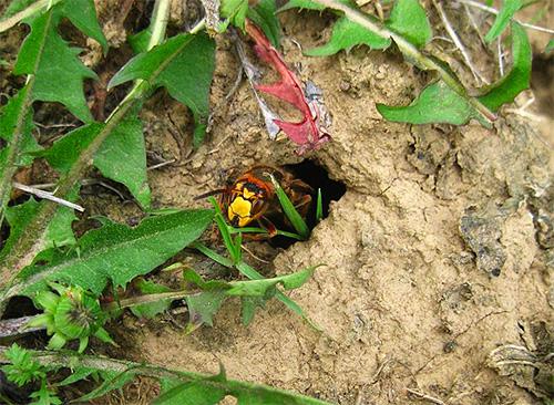 Если гнездо шершней или ос находится в земле, уничтожить насекомых можно с помощью кипятка