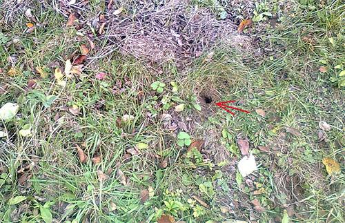 На фотографии показан вход в гнездо земляных ос