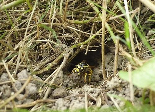 Обычные бумажные осы вполне могут построить свое гнездо под землей, например, в бывшей норе какого-нибудь грызуна.