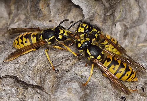 Несмотря на то, что осы гораздо меньше шершней, они тоже могут весьма сильно покусать человека.