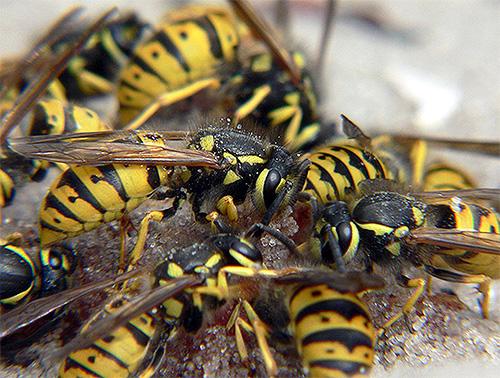 Если осы почувствуют в человеке угрозу для своего гнезда, они будут активно его защищать, представляя тем самым опасность для всех, кто находится рядом.